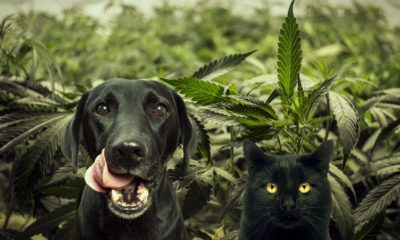 Marijuana infused pet food