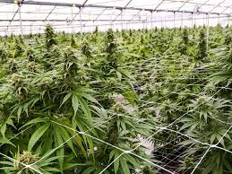 Netherlands legalized the use of medical Cannabis way back in 2003. The use of medical Cannabis in the Dutch Land is not new. Patients with serious illnesses