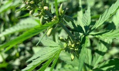 cannabis seeds modified with gene editing tool