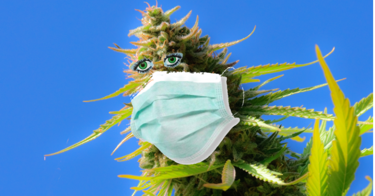 Cannabis strains are gaining the attention of the medical for their ability to reduce COVID-19 complications.
