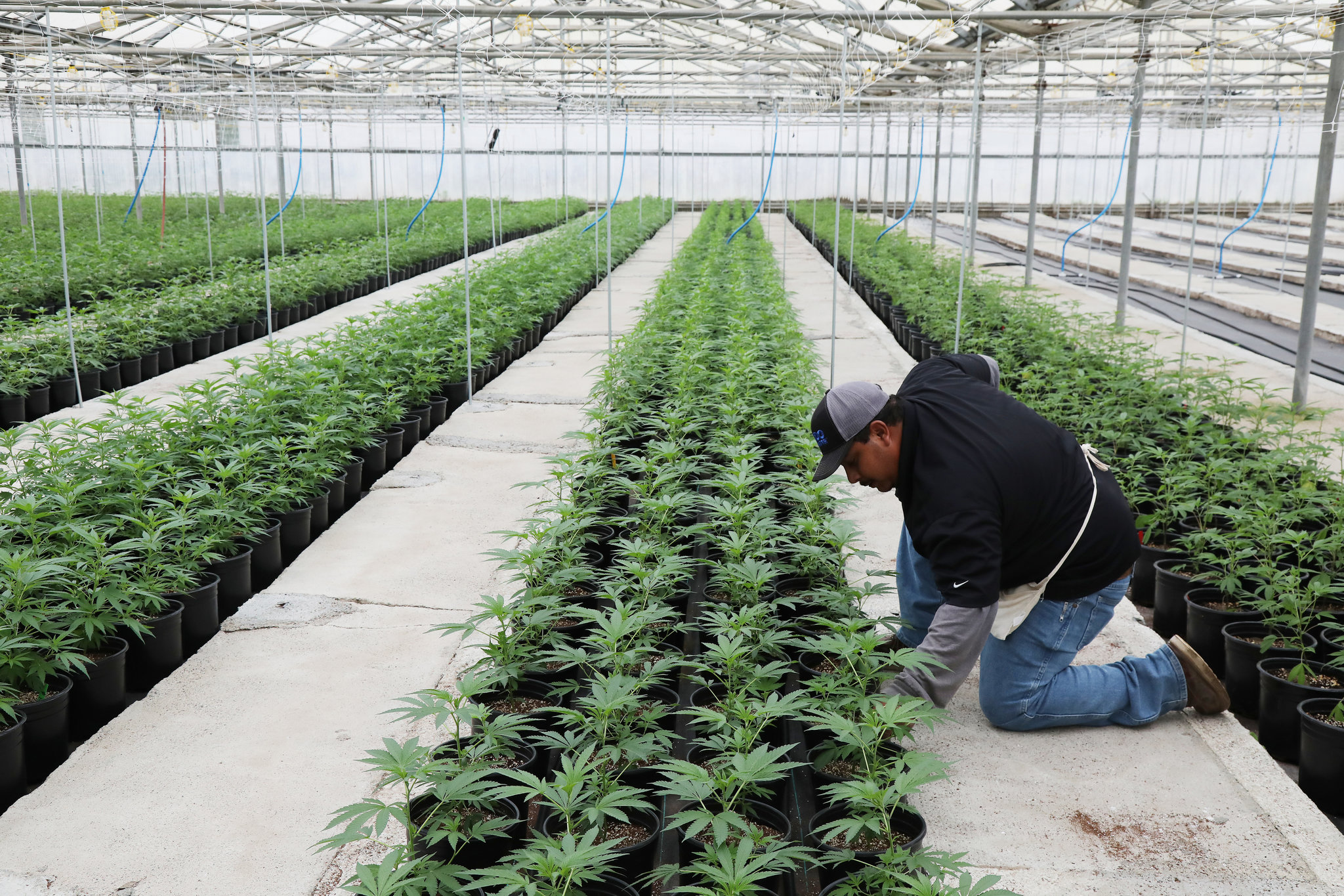 Passion for Growing Pot, From Jail to Cannabis Farm
