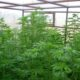 Cannabis Indoor cultivation