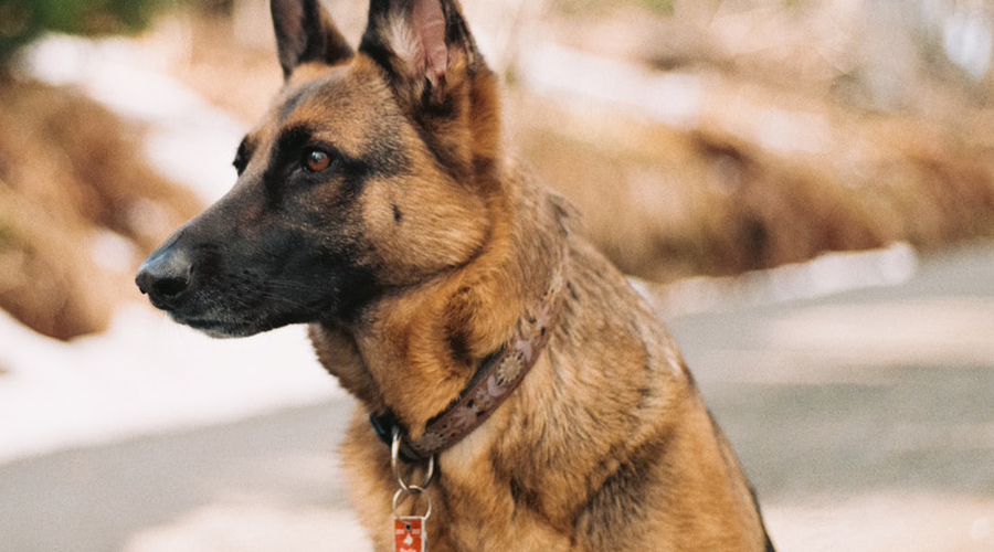 Best CBD for German Shepherd: Treats, Oil and Soft Chews