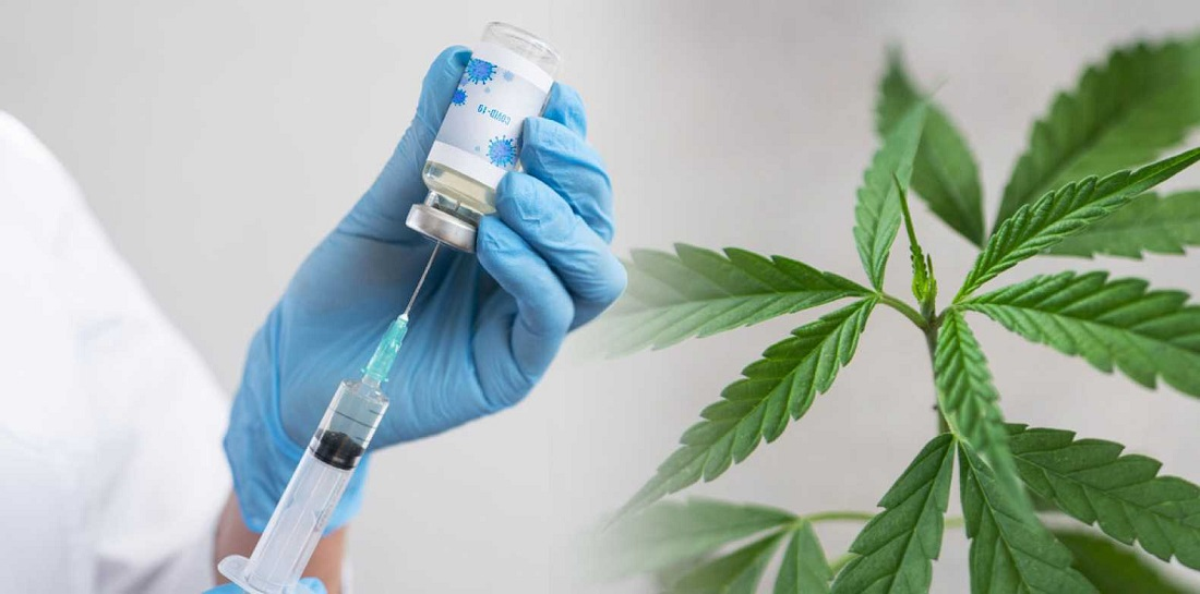 Get Vaccination To Get Free Cannabis