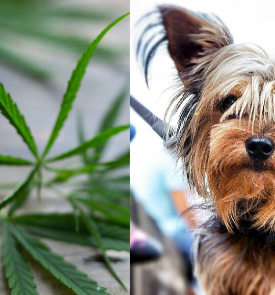 best-cbd-for-terriers-dogs